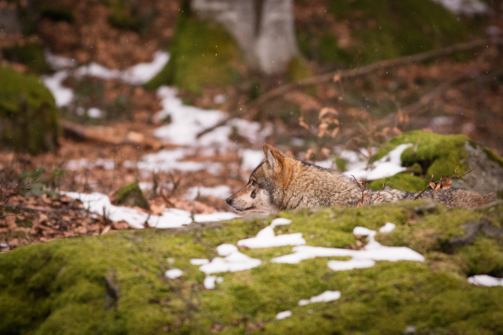 wolf at bayerische wald