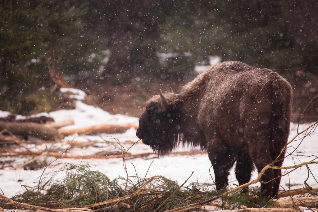 european bison at bayerische wald