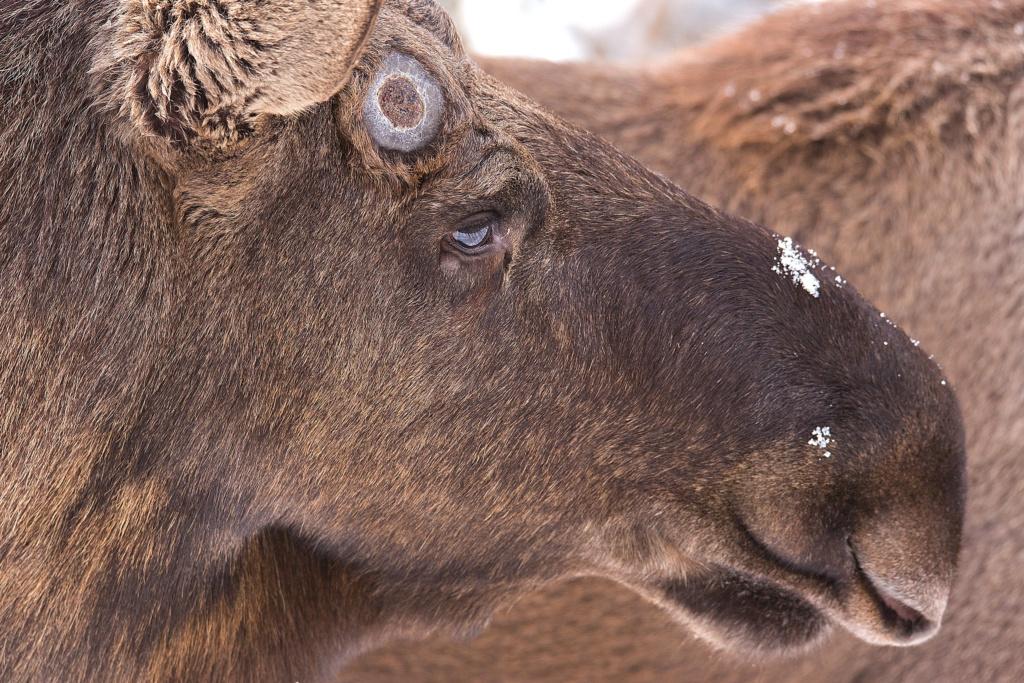 elk at bayerische wald