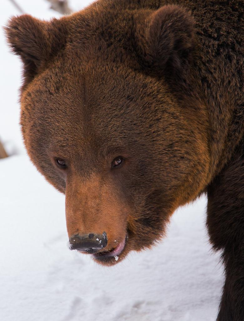 Brown bear at Bayerische Wald
