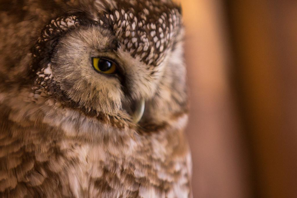 owl at bayerische wald